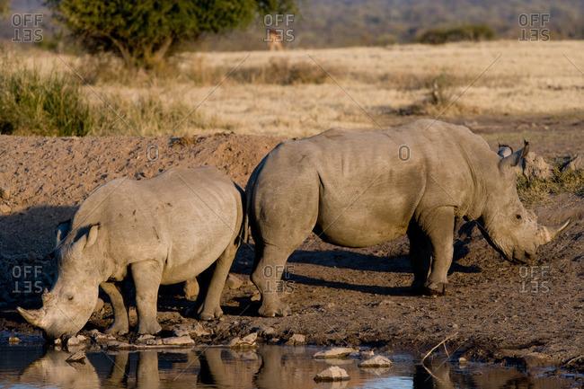 Rhinoceros at watering hole