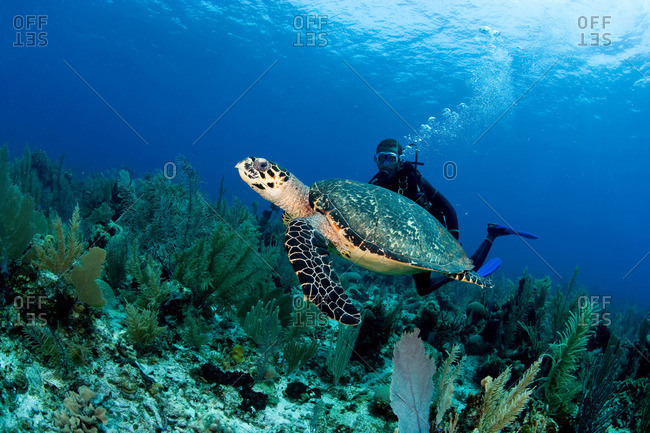 Hawksbill turtle on reef