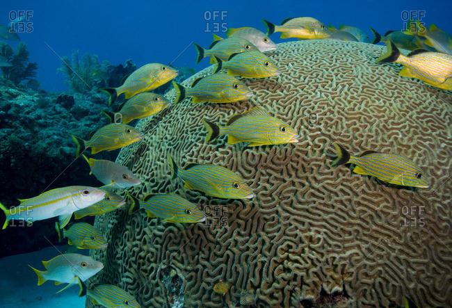 Fish huddled near brain coral