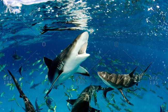 Sharks near surface