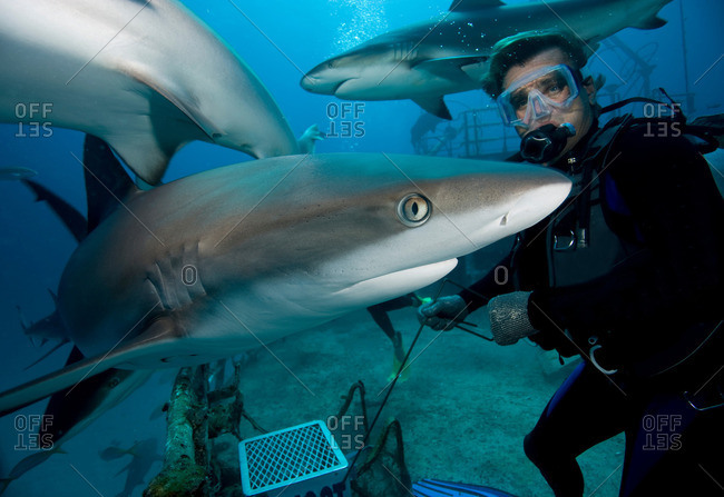 Shark feeding dive - Offset Collection