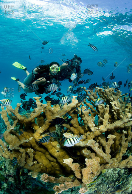 Divers and Elkhorn coral