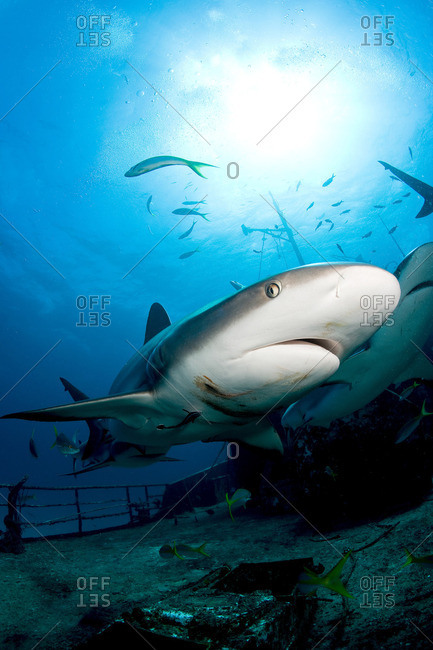 Sharks on shipwreck - Offset Collection