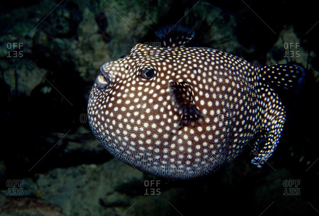 Inflated pufferfish from the Offset Collection