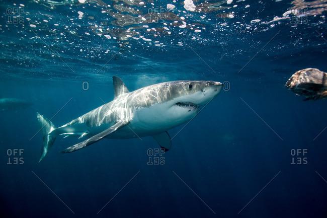 Great white attacks bait