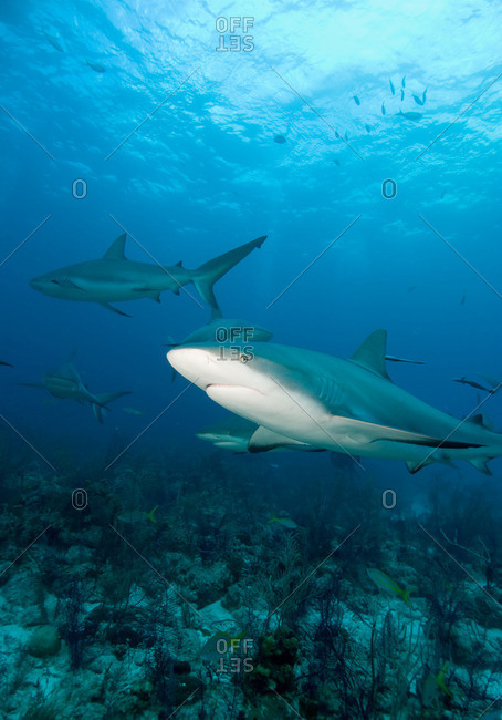 Caribbean reef sharks - Offset Collection