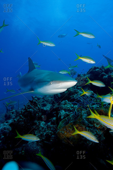 Reef shark from the Offset Collection