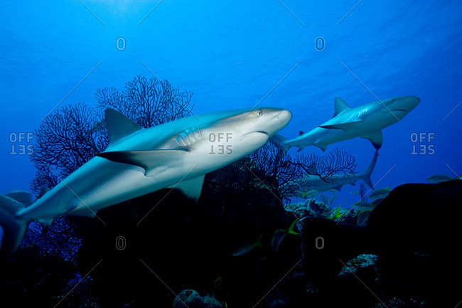 Reef sharks from the Offset Collection