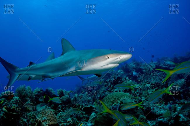 Caribbean reef shark - Offset Collection