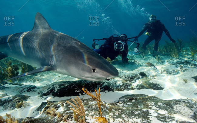 Sneaky look from tiger shark