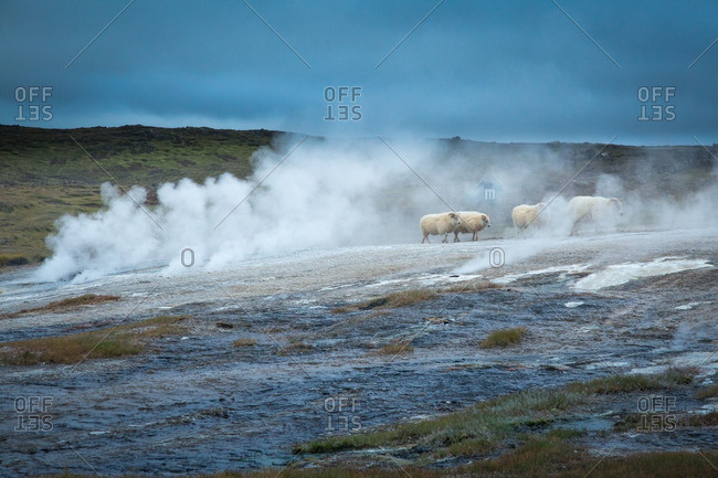 Icelandic sheep and homestead at geothermal location in the remote Kjoslur highlands