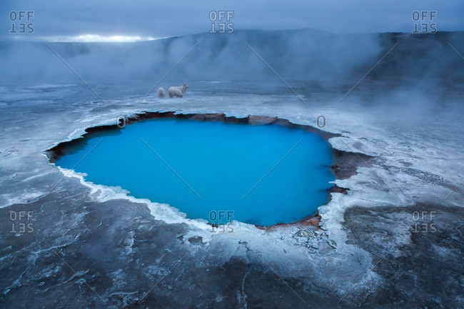 Icelandic sheep at geothermal pool in the remote Kjoslur highlands