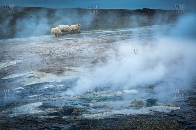 Icelandic sheep at geothermal location in the remote Kjoslur highlands
