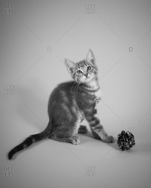 Portrait of a tabby kitten with foil ball toy