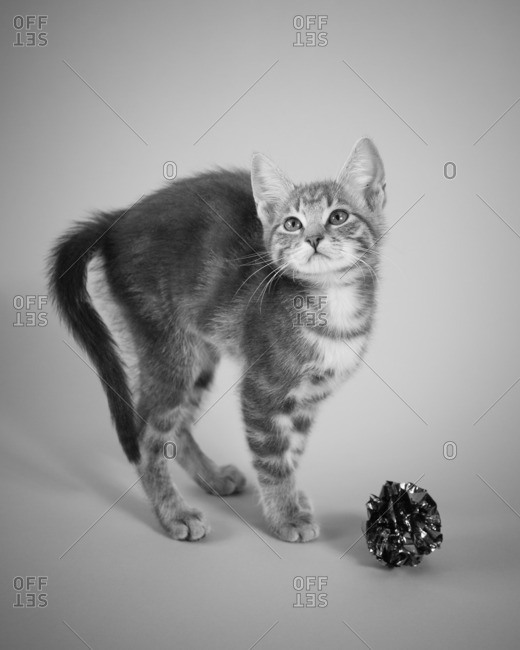 Tabby kitten with arched back and foil ball toy