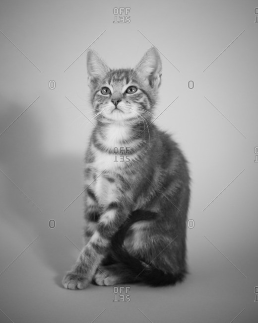 Portrait of a cute tabby kitten sitting up straight