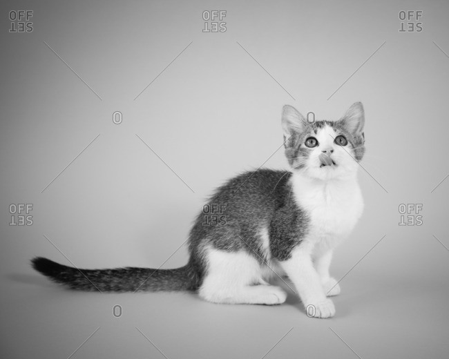 Cute white and gray kitten licking it's nose