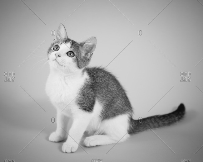 Portrait of adorable gray and white kitten