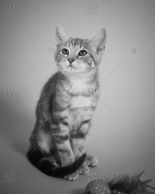 Portrait of cute tabby kitten with feather toy