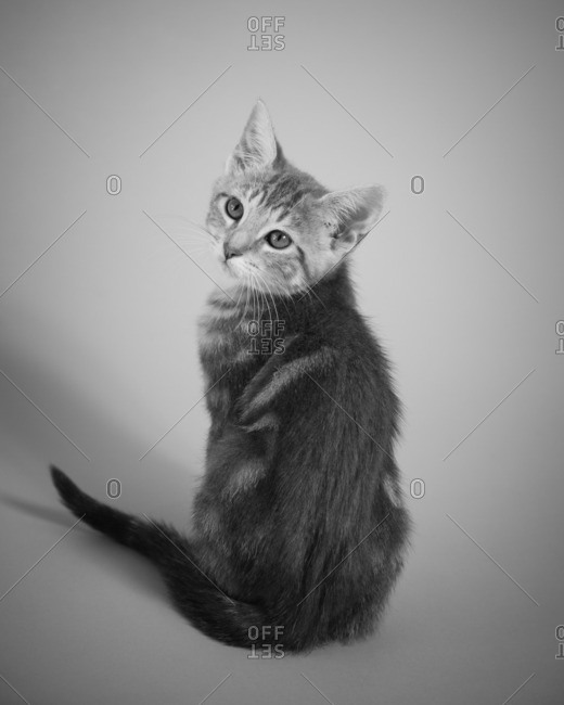 Back view portrait of tabby kitten looking over its shoulder