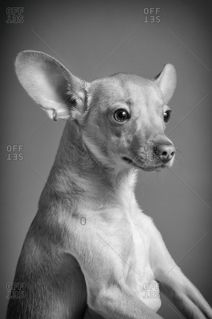 Portrait of a Chihuahua with big ears