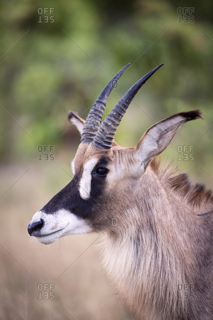 Portrait of a roan antelope with horns