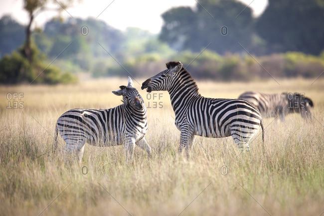 Fighting male zebras on the grasslands of Botswana
