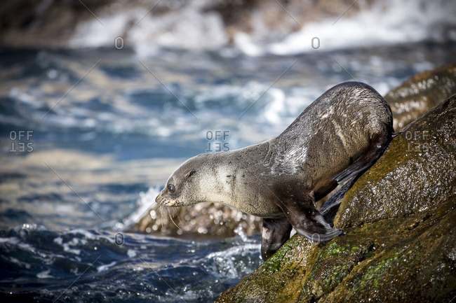 A sea lion pup about to dive into the sea from a rock