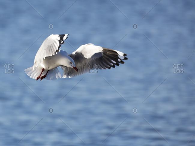 Flying seagull in Western Australia