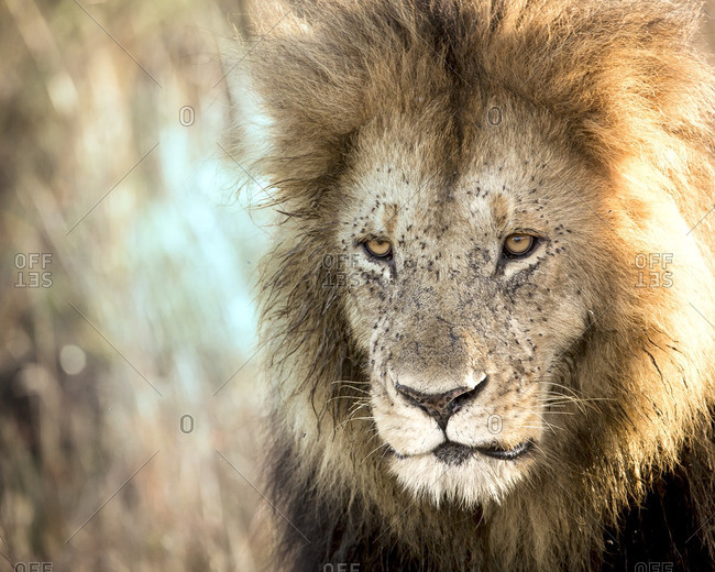 Close-up portrait of lion with full black mane