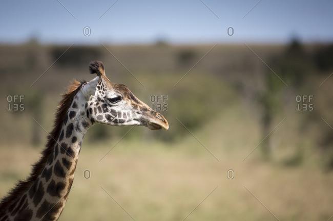 Portrait of giraffe on Masai Mara plains in Kenya