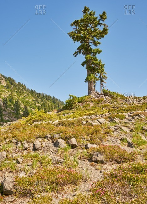 Tree at the top of Mount Baker-Snoqualmie National Forest, Washington
