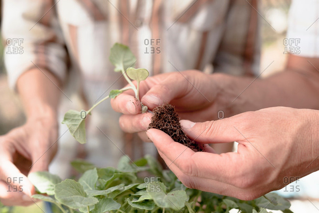 Man holding young plant with roots, close-up