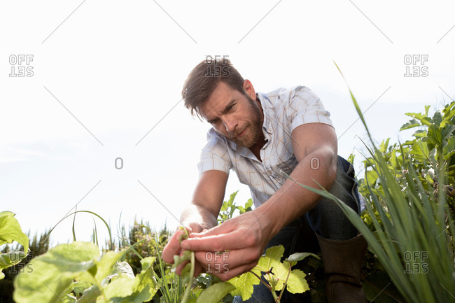 Mature man tending to plants in garden