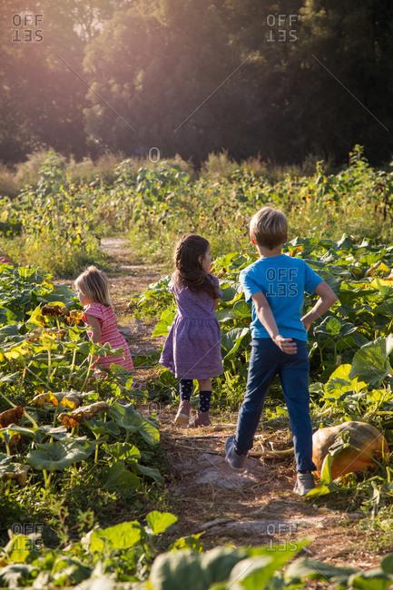 Three children walking through pumpkin patch, rear view