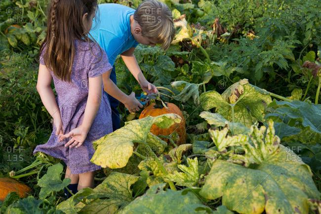 Young girl and boy in pumpkin patch, choosing pumpkin, rear view