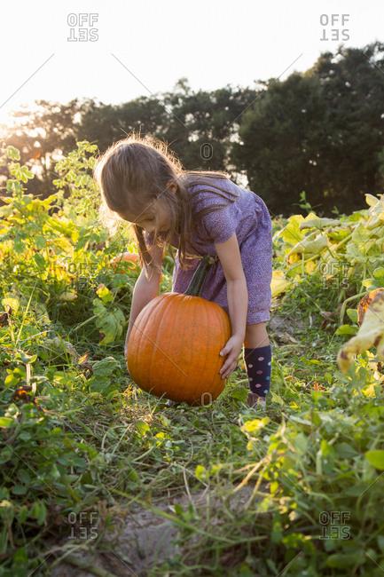 Young girl in pumpkin patch, lifting pumpkin