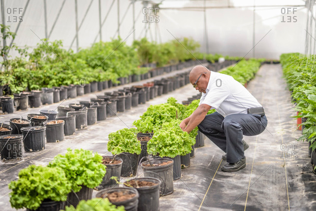 Manager inspecting lettuce plants in Hydroponic farm in Nevis, West Indies