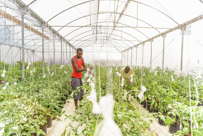 Workers inspecting tomato plants in Hydroponic farm in Nevis, West Indies