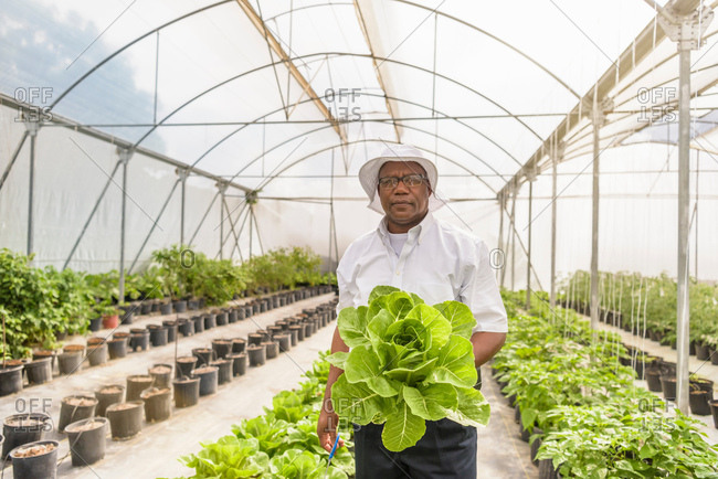 Portrait of worker holding romaine lettuce in Hydroponic farm in Nevis, West Indies