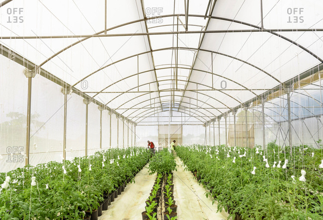 View of Hydroponic farm in Nevis, West Indies