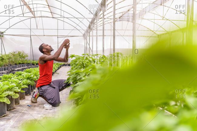 Worker tying up bell pepper plants in Hydroponic farm in Nevis, West Indies