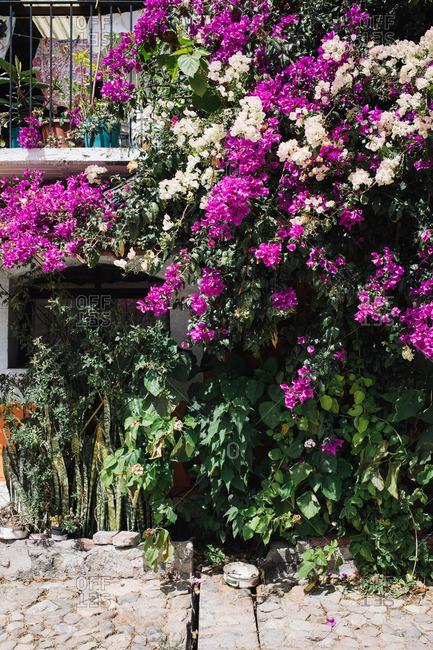 Flowers growing along a street in Oaxaca de Juarez, Mexico