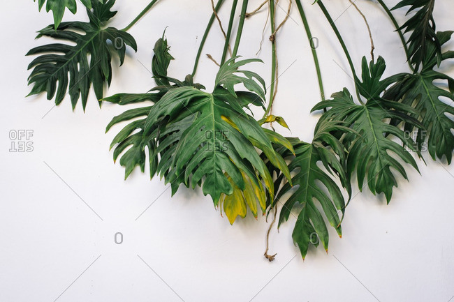 Palm plant against a white wall