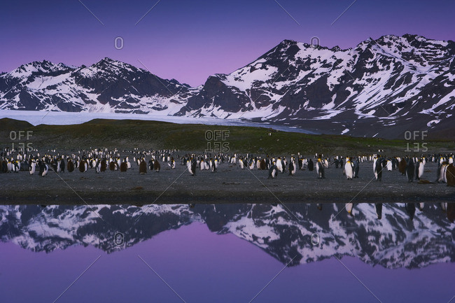 King Penguins, Aptenodytes patagonicus, in groups on the beach at dusk on South Georgia Island
