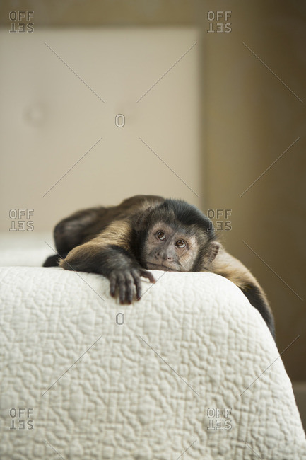A capuchin monkey lying on a bed in a domestic home