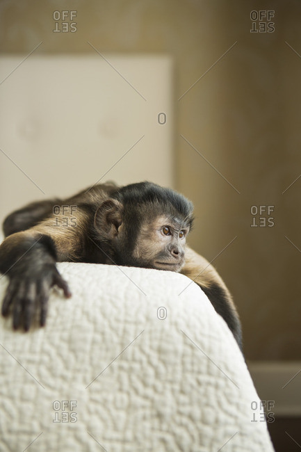 A capuchin monkey lying down on a bed