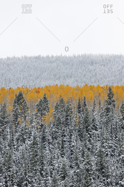 View over aspen forests in autumn, with a layer of vivid orange leaf color against pine trees
