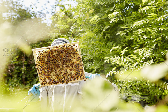 A beekeeper holding up and checking a honeycomb frame from a beehive