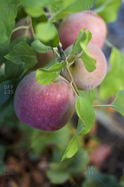 Close-up of apples on a tree branch